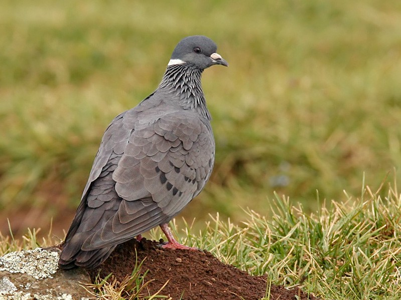 White-collared Pigeon - Lars Petersson