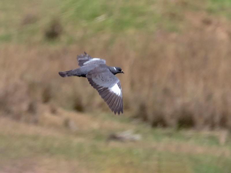 White-collared Pigeon - Arthur Grosset