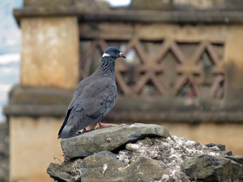 White-collared Pigeon - Rei Segali