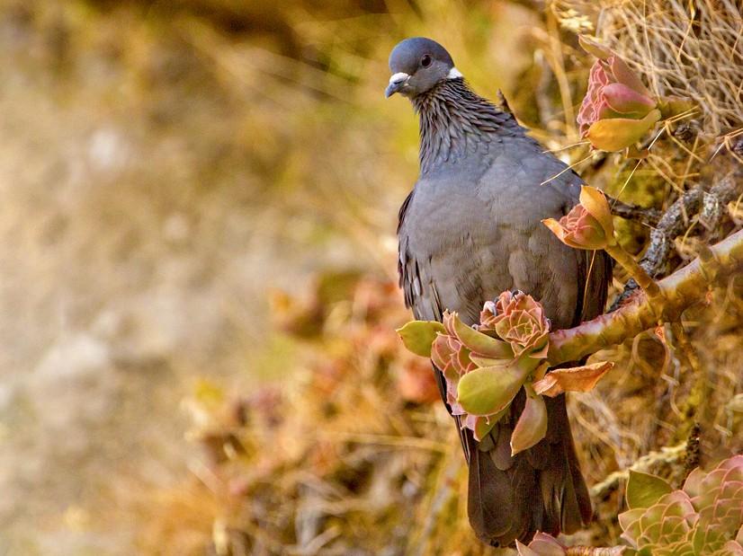 White-collared Pigeon - Morten Venas