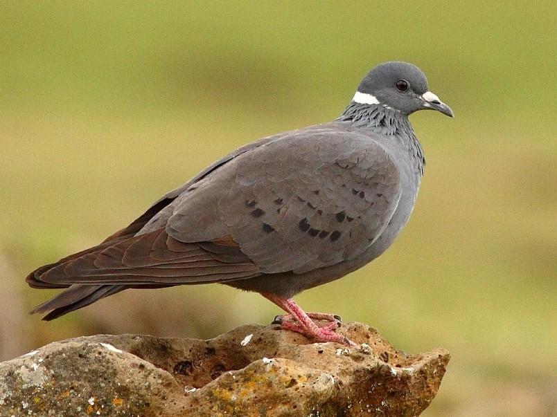 White-collared Pigeon - Markus Lilje