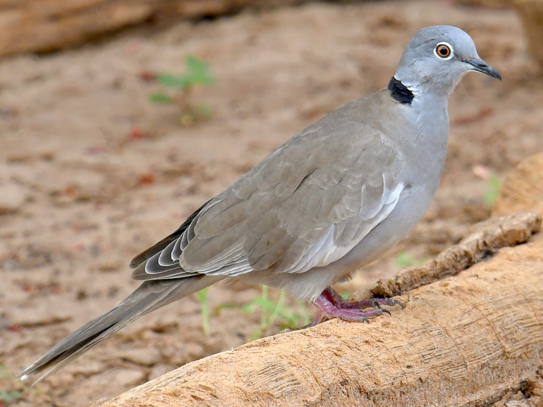 White-winged Collared-Dove - Lev Frid