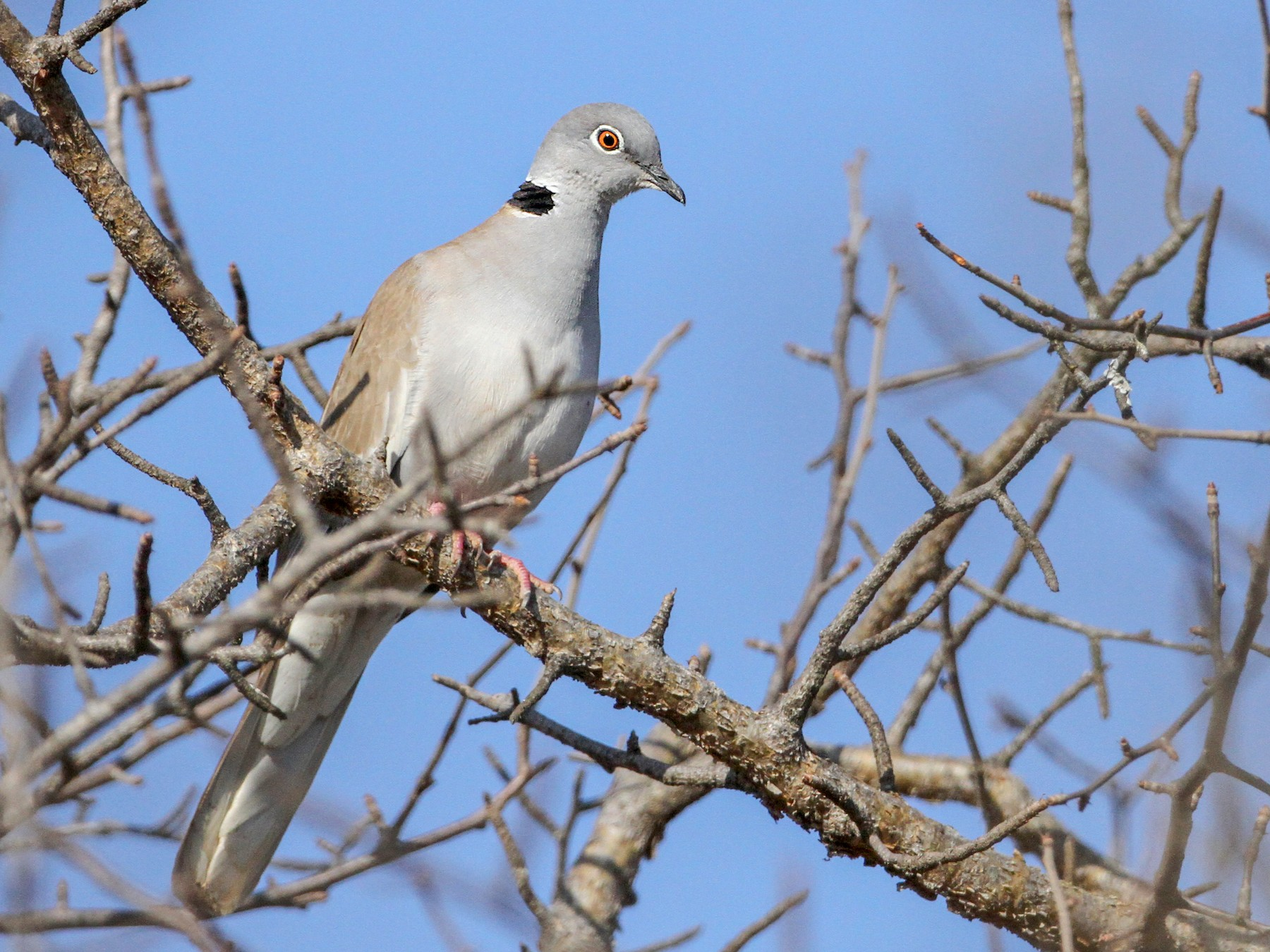 White-winged Collared-Dove - Luke Seitz