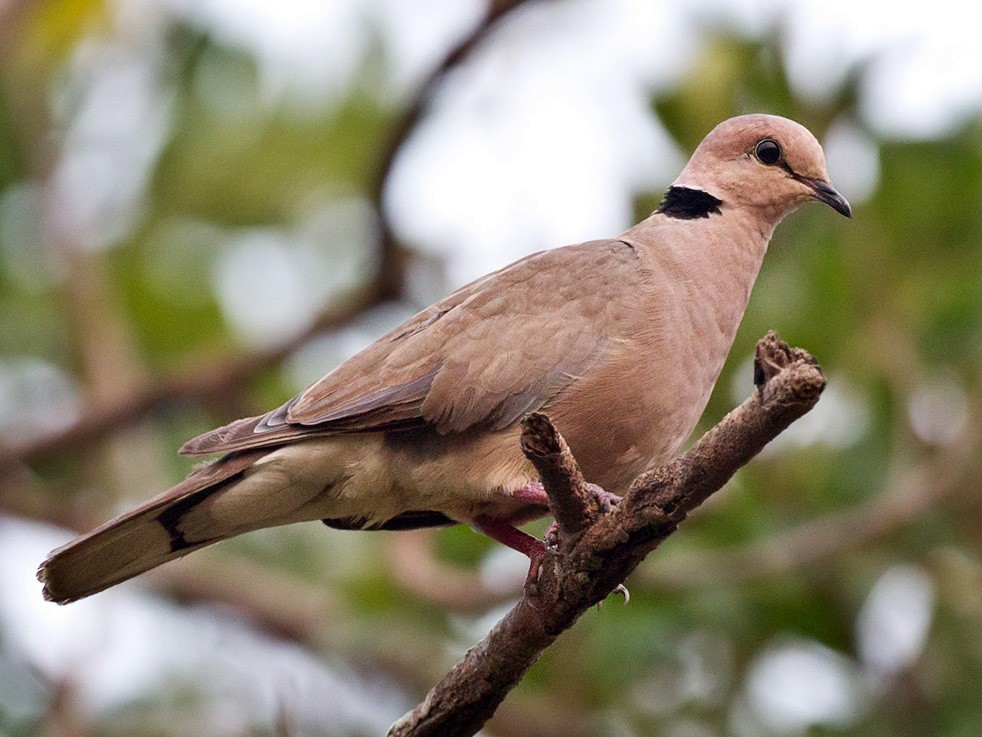 Vinaceous Dove - Lars Petersson
