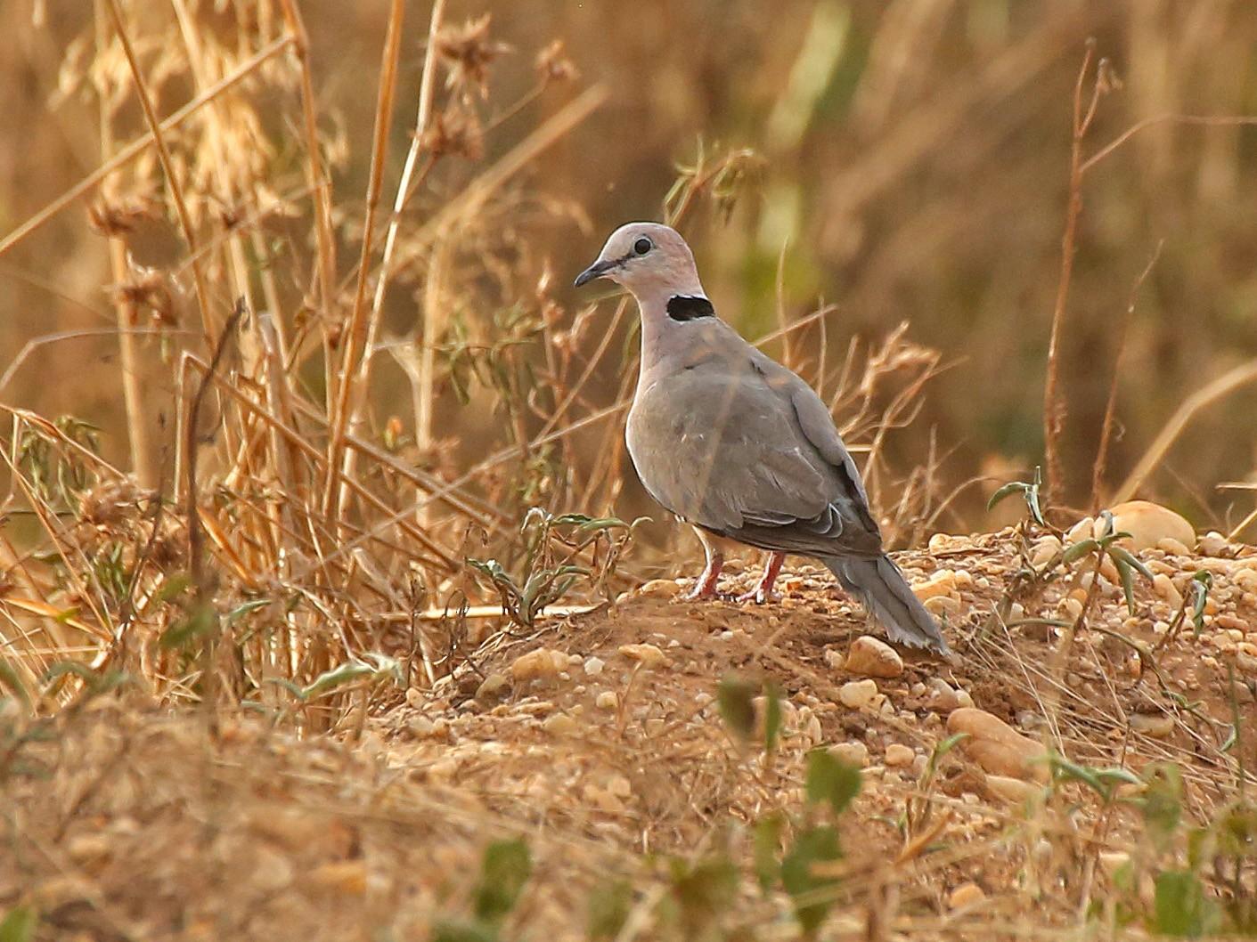 Vinaceous Dove - Paul Chapman
