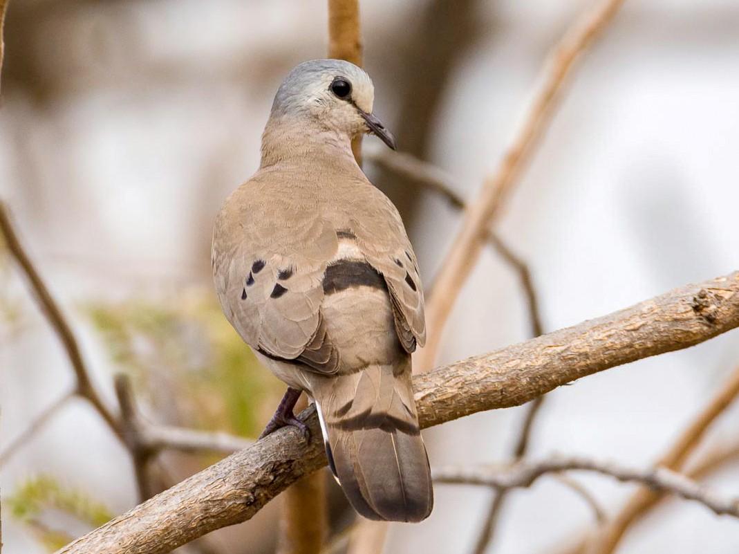 Black-billed Wood-Dove - Eric francois Roualet