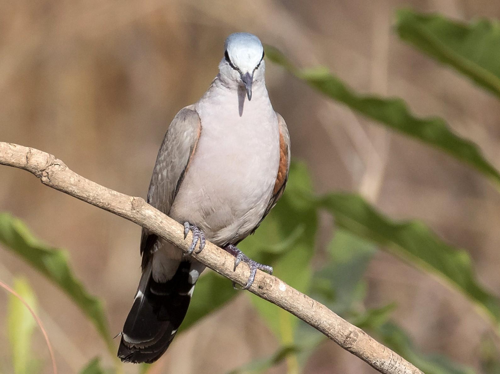 Black-billed Wood-Dove - James Kennerley 🦖