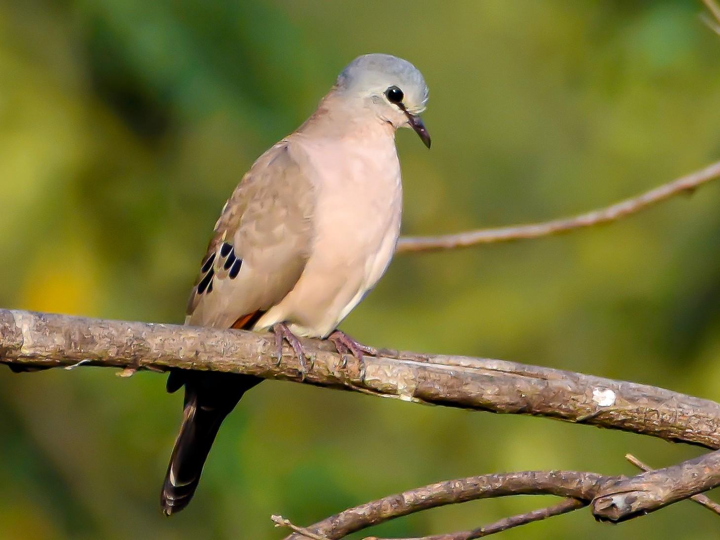 Black-billed Wood-Dove - Giuseppe Citino