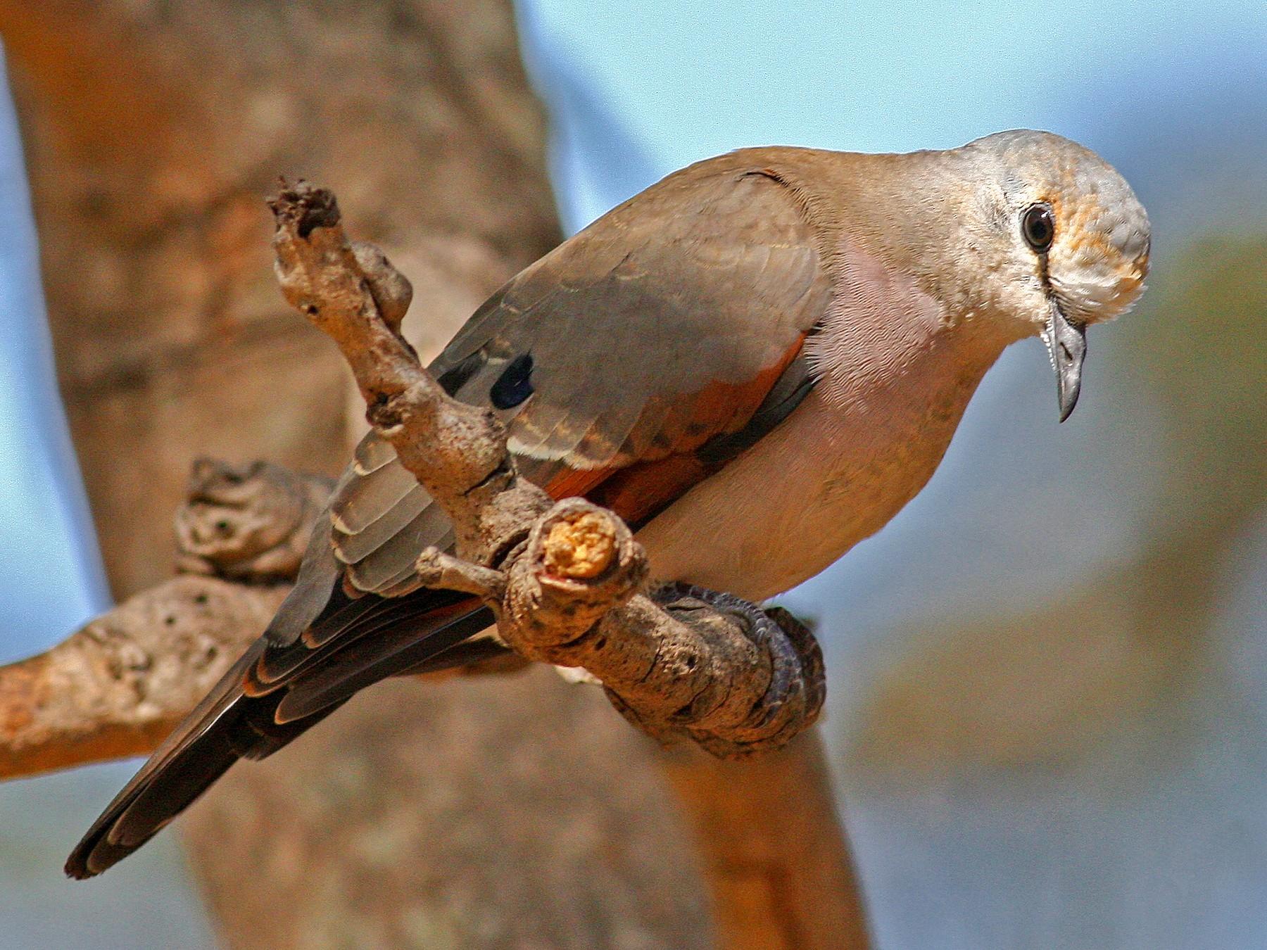 Black-billed Wood-Dove - Frans Vandewalle