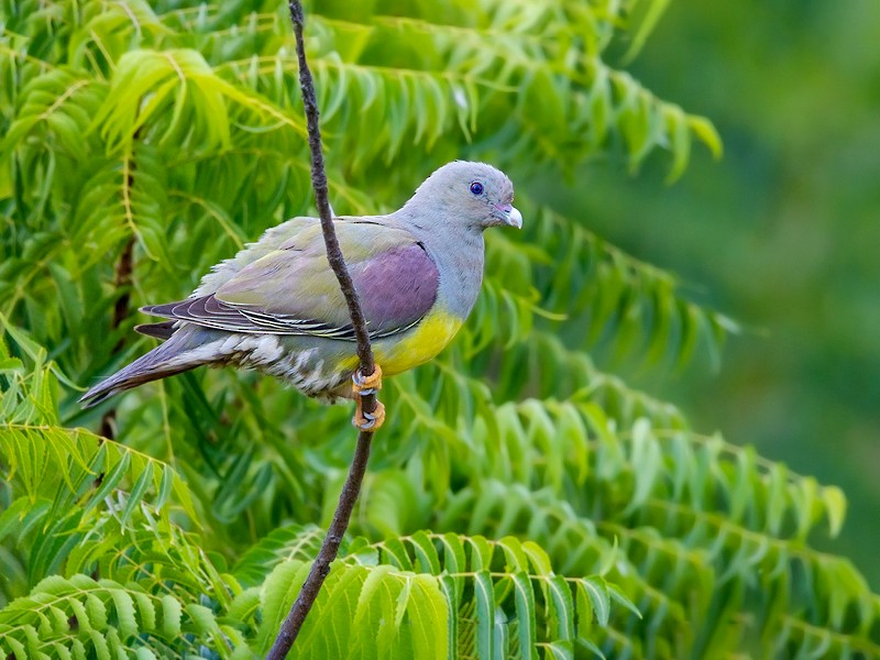 Bruce's Green-Pigeon - Dubi Shapiro