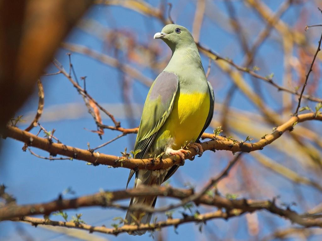 Bruce's Green-Pigeon - Niall D Perrins