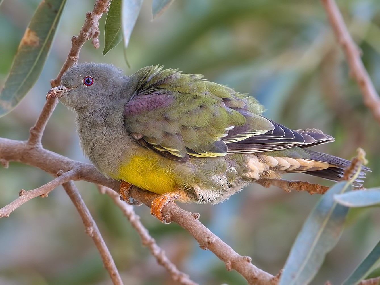 Bruce's Green-Pigeon - Prof.Dr. Ahmet Karatash