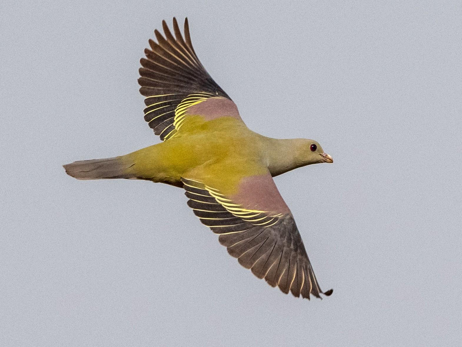 Bruce's Green-Pigeon - Hans Norelius