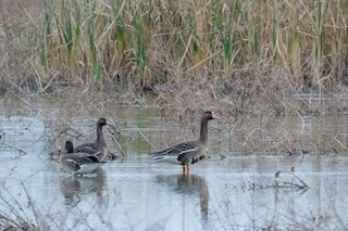 Greater White-fronted Goose, ML24450791