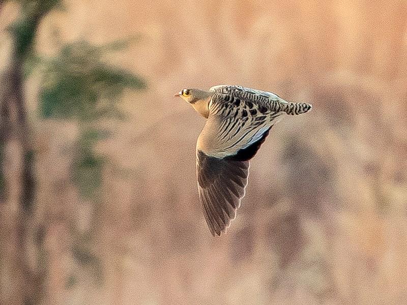 Four-banded Sandgrouse - Per Smith