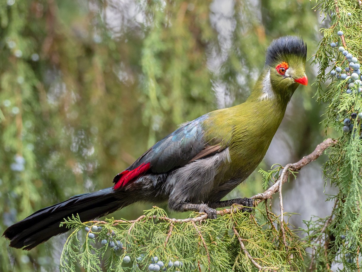 White-cheeked Turaco - Forest Jarvis