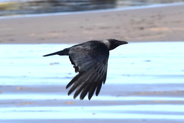 © Blair Whyte - Hooded Crow