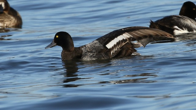 Greater/Lesser Scaup