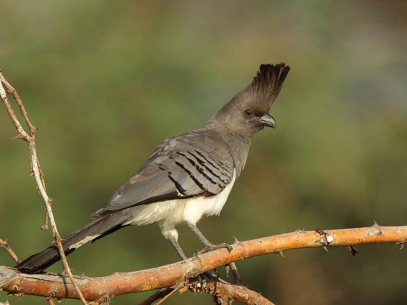 White-bellied Go-away-bird - Tadeusz Rosinski