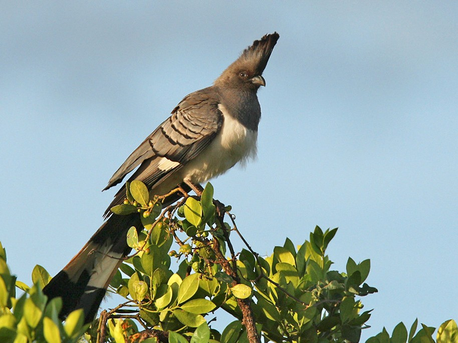 White-bellied Go-away-bird - Lars Petersson