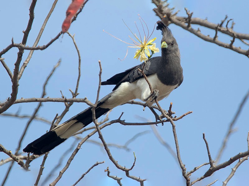 White-bellied Go-away-bird - Arthur Grosset