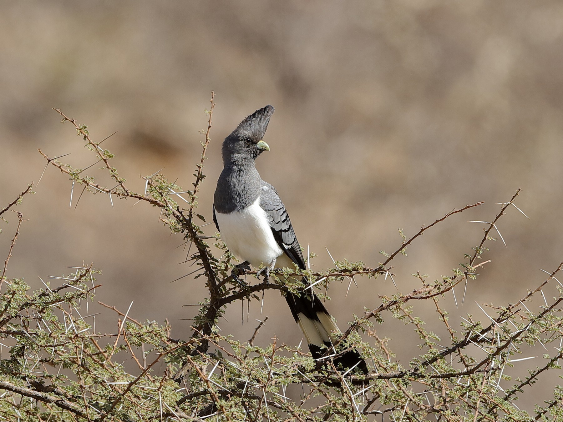 White-bellied Go-away-bird - Holger Teichmann