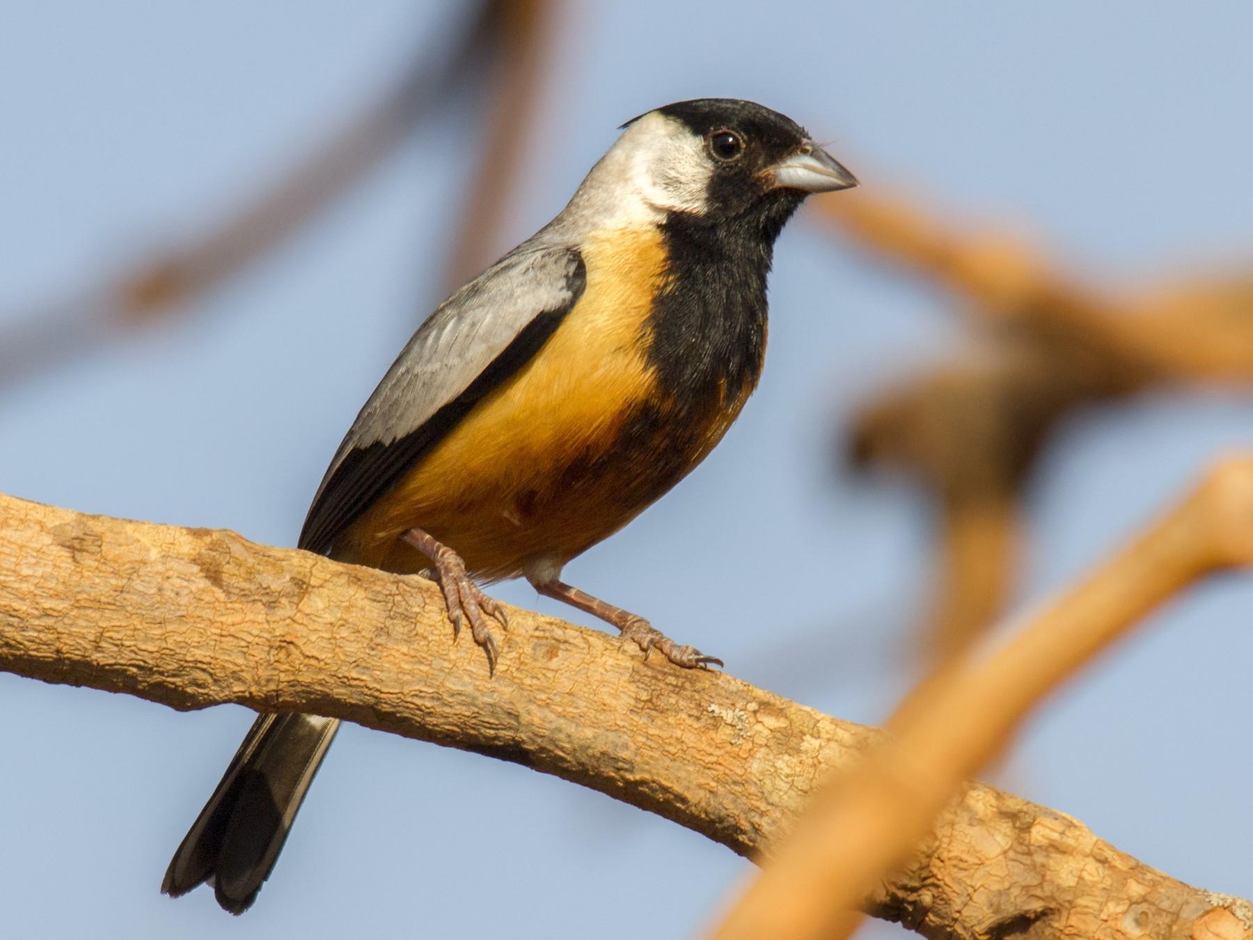 Coal-crested Finch - Andres Vasquez Tropical Birding Tours