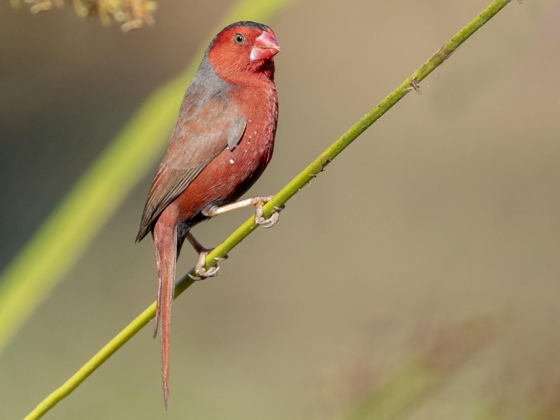 Crimson Finch - Andres Vasquez Noboa - Tropical Birding Tours