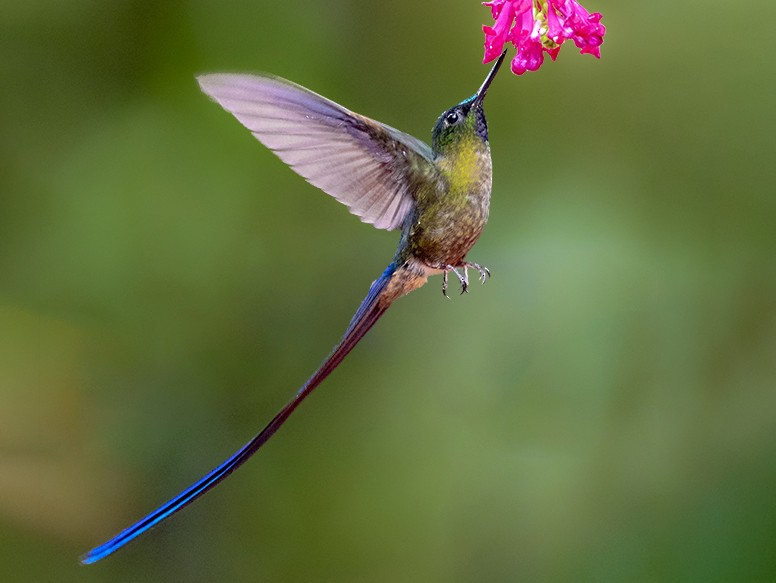 Violet-tailed Sylph - Andres Vasquez