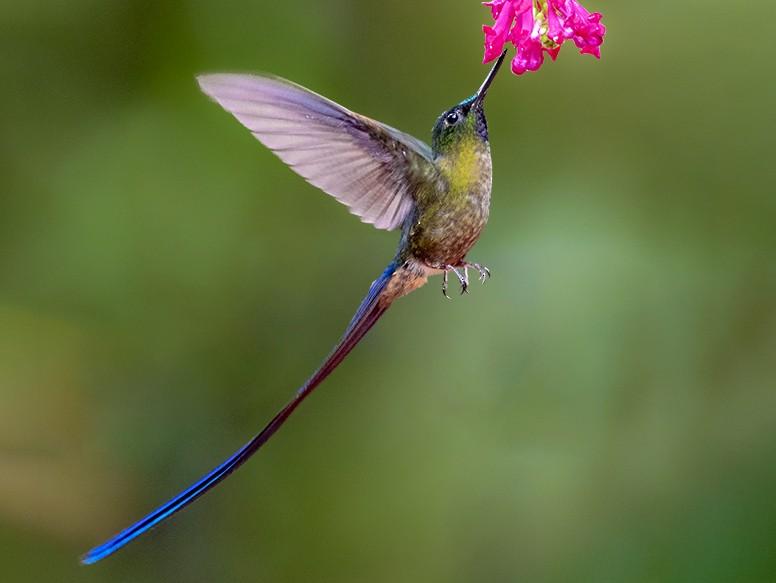 Violet-tailed Sylph - Andres Vasquez Tropical Birding Tours