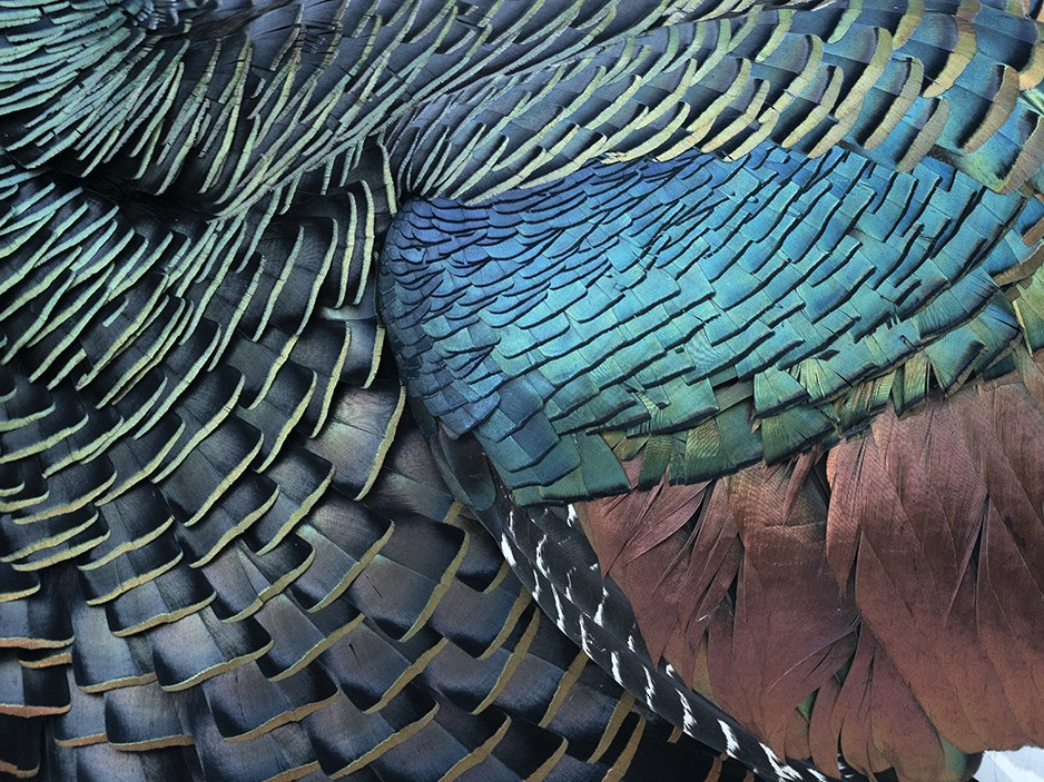 Ocellated Turkey - Andres Vasquez