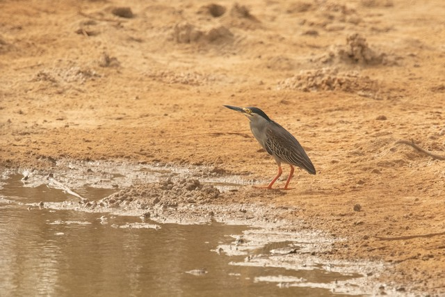 Striated Heron (Old World)