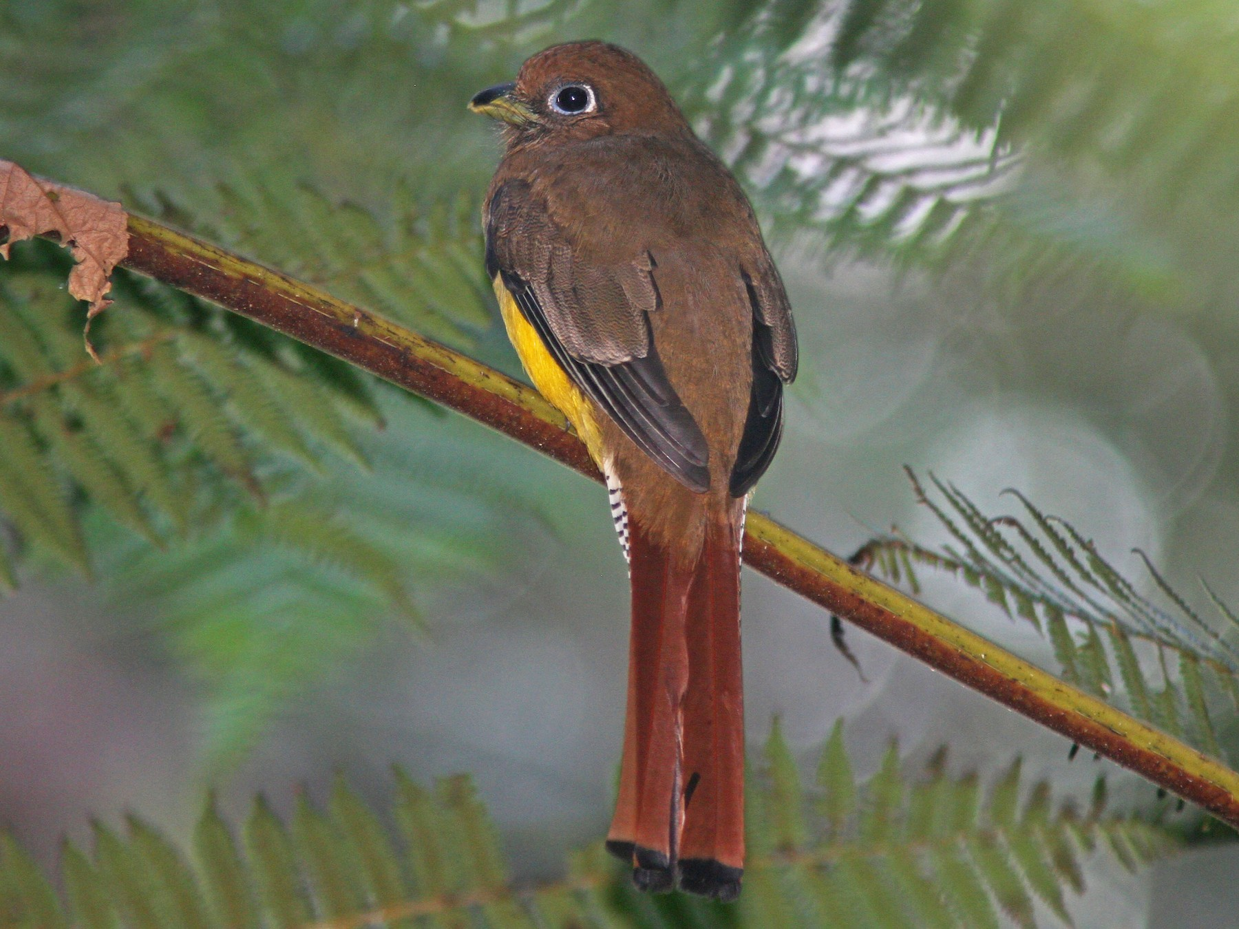 Black-throated Trogon - Larry Therrien