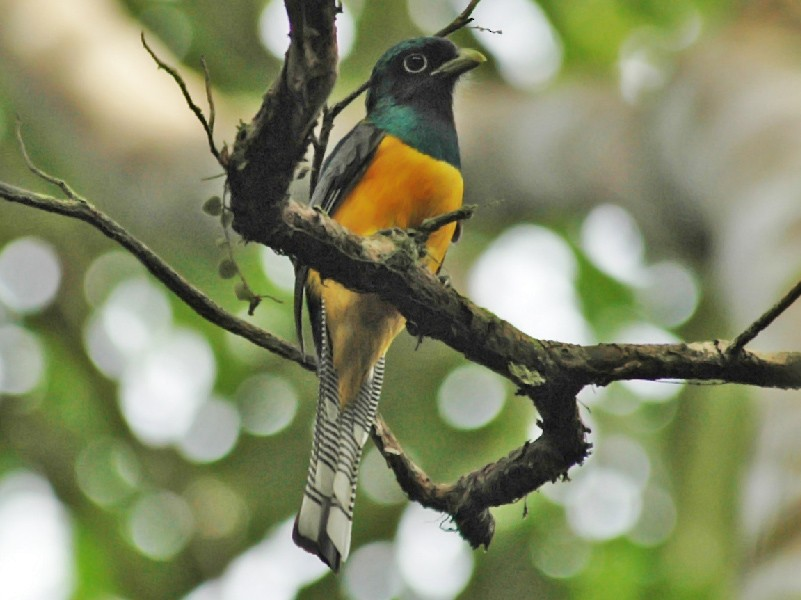 Black-throated Trogon - Thierry NOGARO