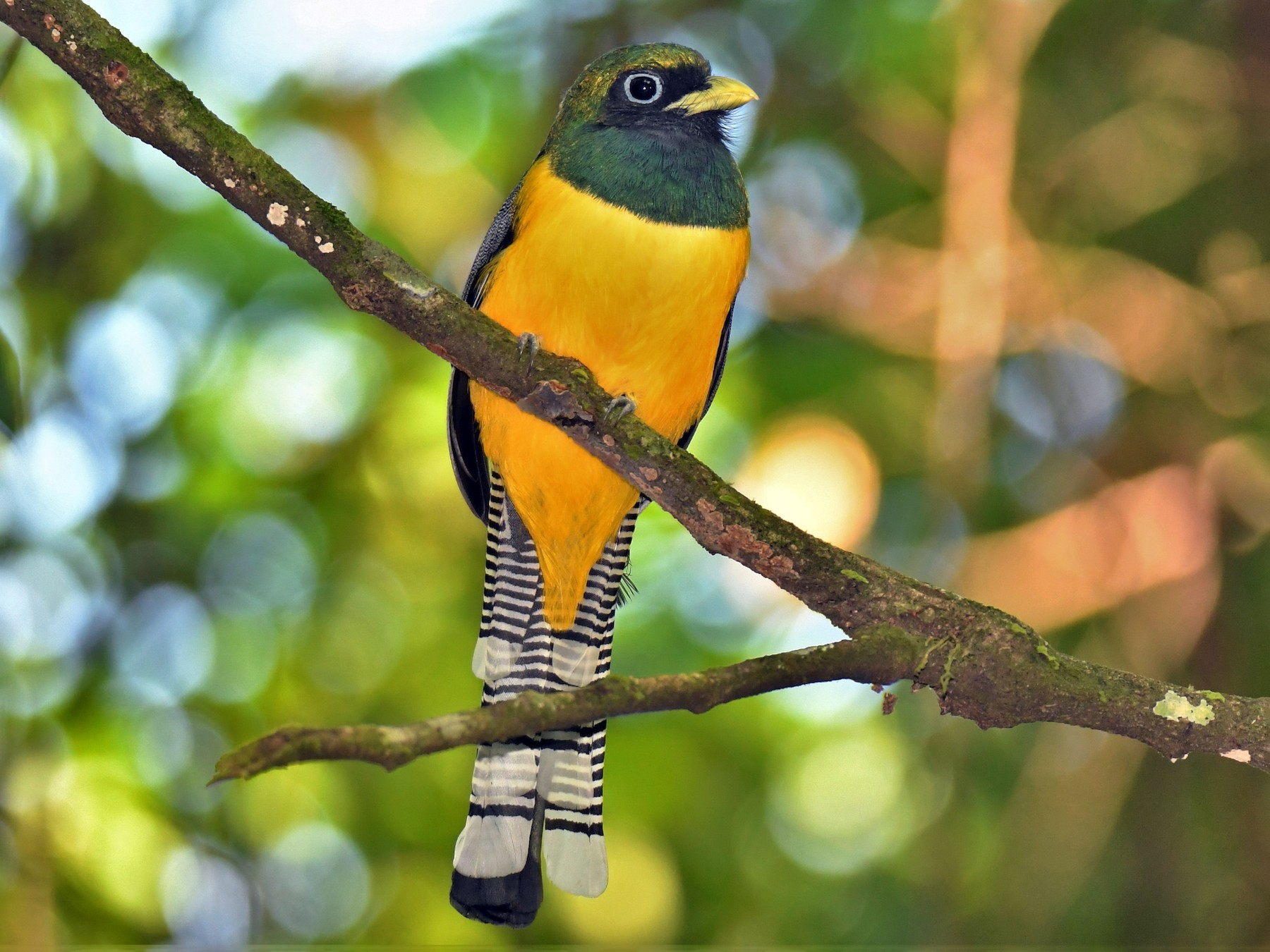 Black-throated Trogon - Jonathan Nikkila