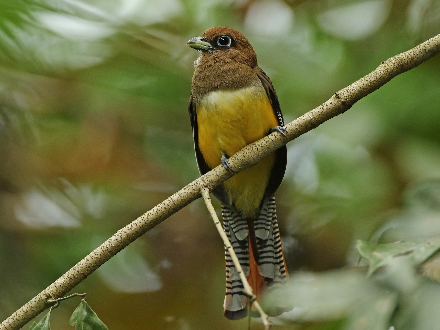 Black-throated Trogon - Luke Seitz