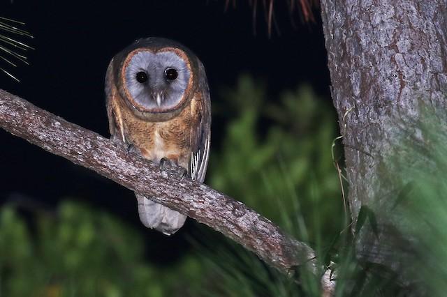 Ashy-faced Owl