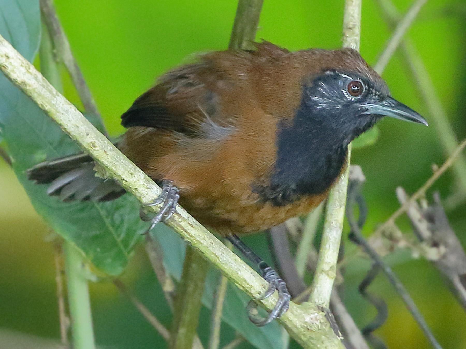 Black-throated Wren - William Supulski