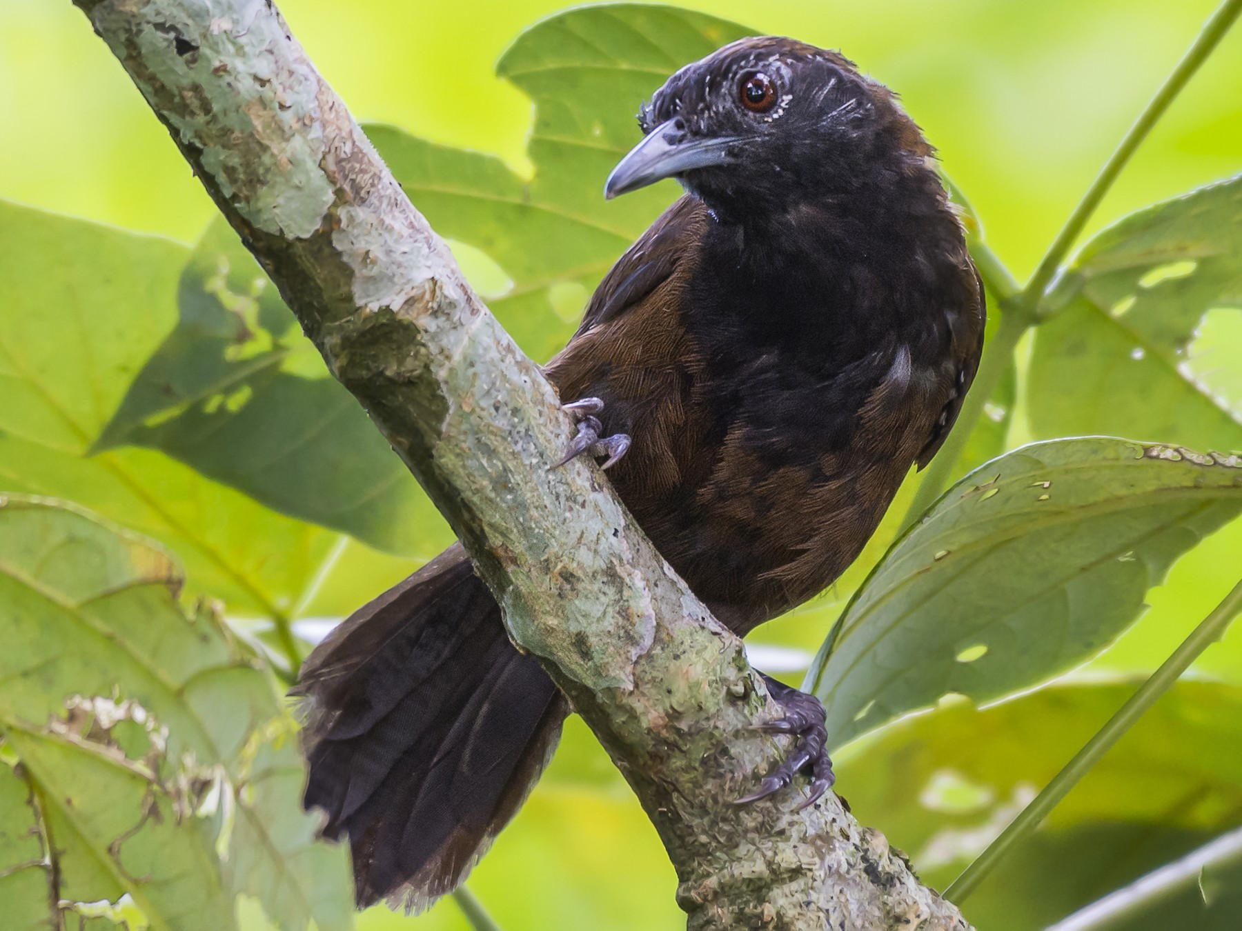 Black-throated Wren - fernando Burgalin Sequeria
