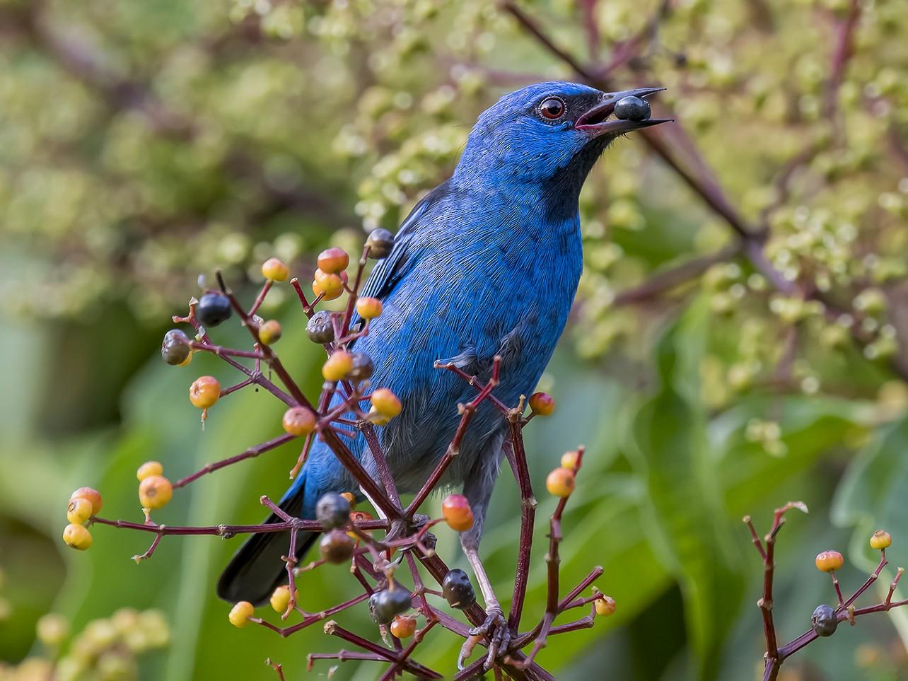Blue Dacnis - fernando Burgalin Sequeria