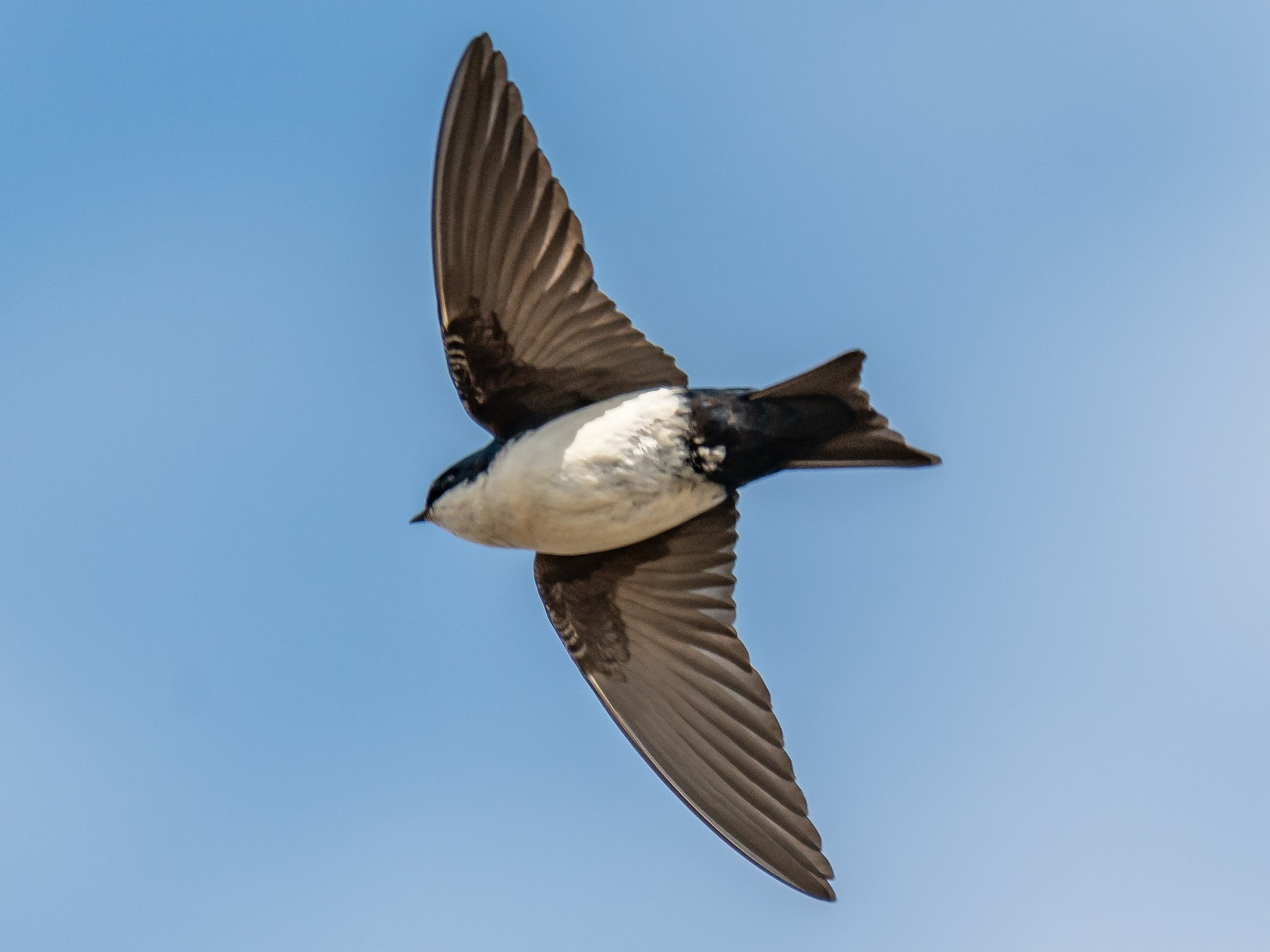 Blue-and-white Swallow - Amed Hernández