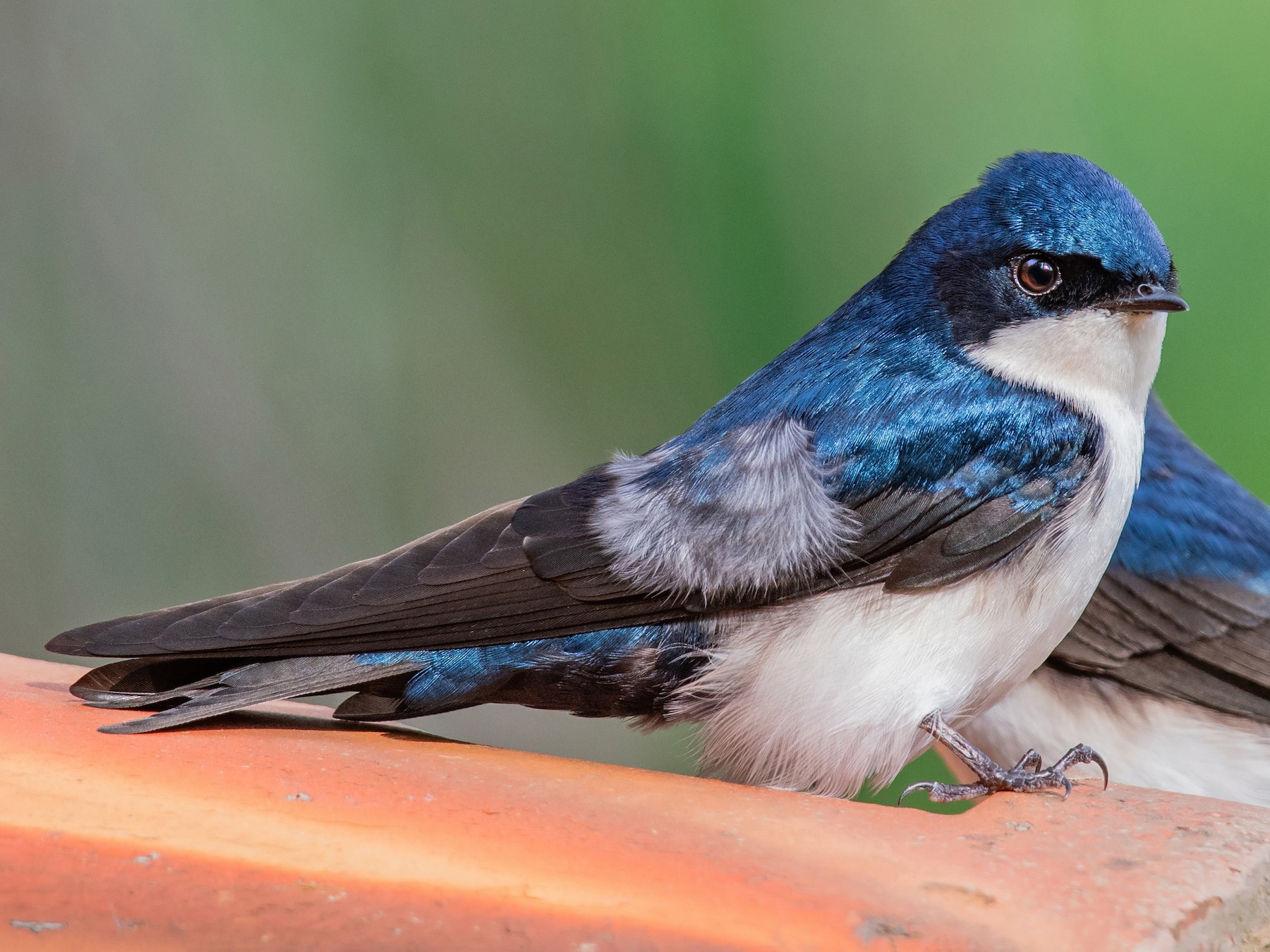Blue-and-white Swallow - Giovan Alex