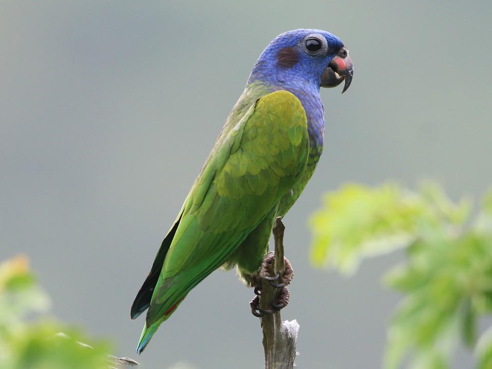 Blue-headed Parrot - Lorenzo Calcaño