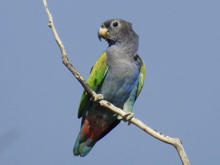Blue-headed Parrot - Fe Sofal