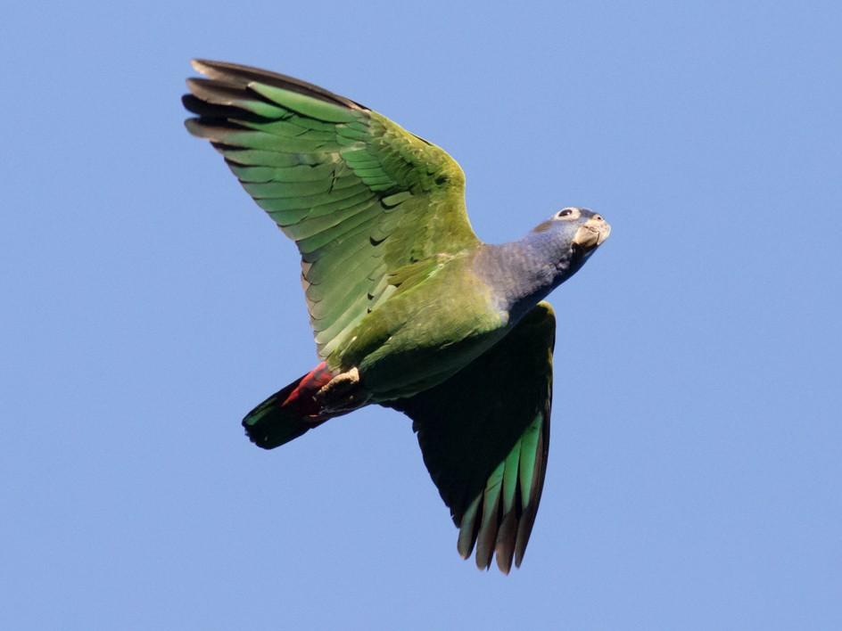Blue-headed Parrot - Tom Johnson