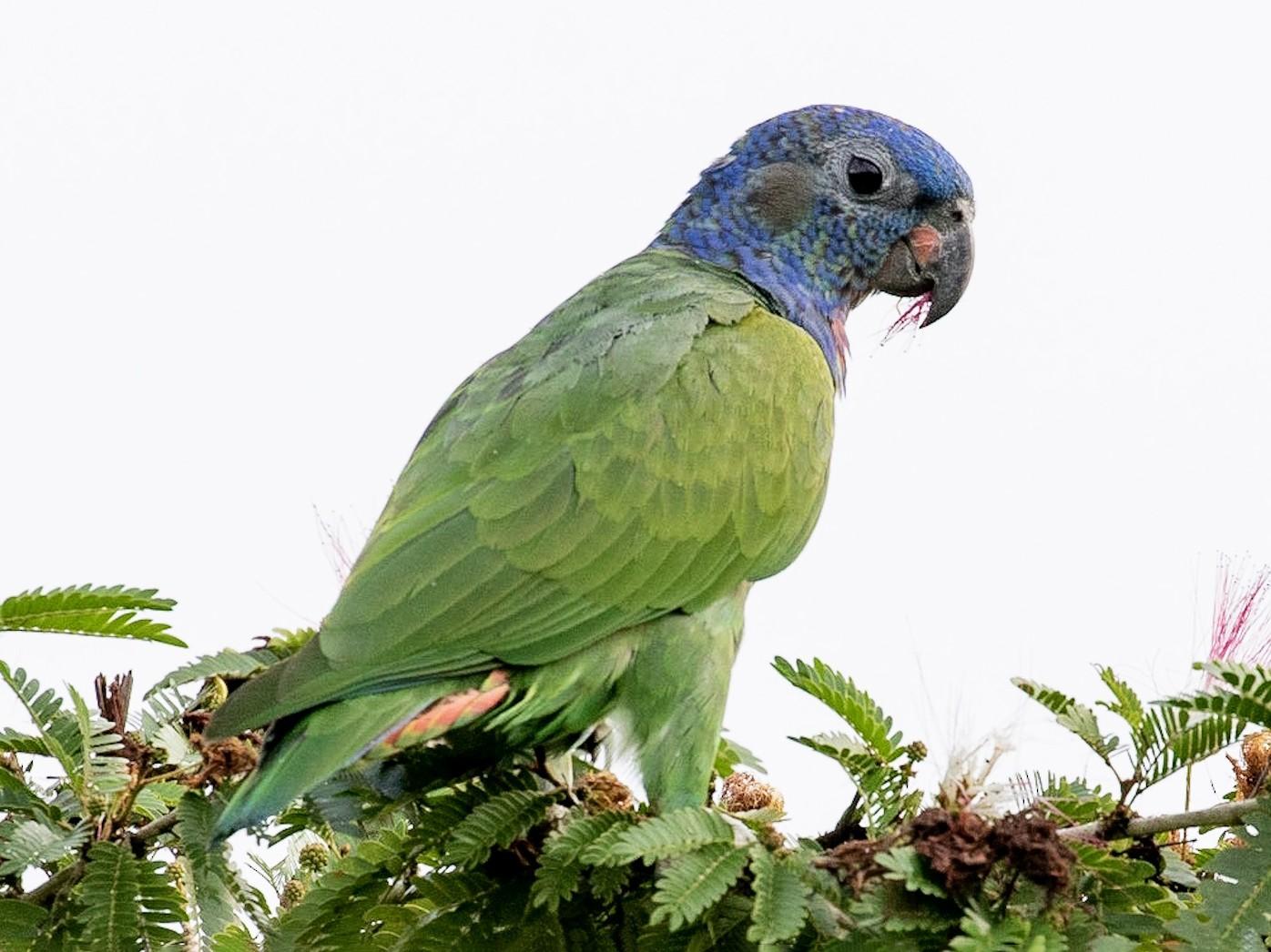 Blue-headed Parrot - Drew Weber