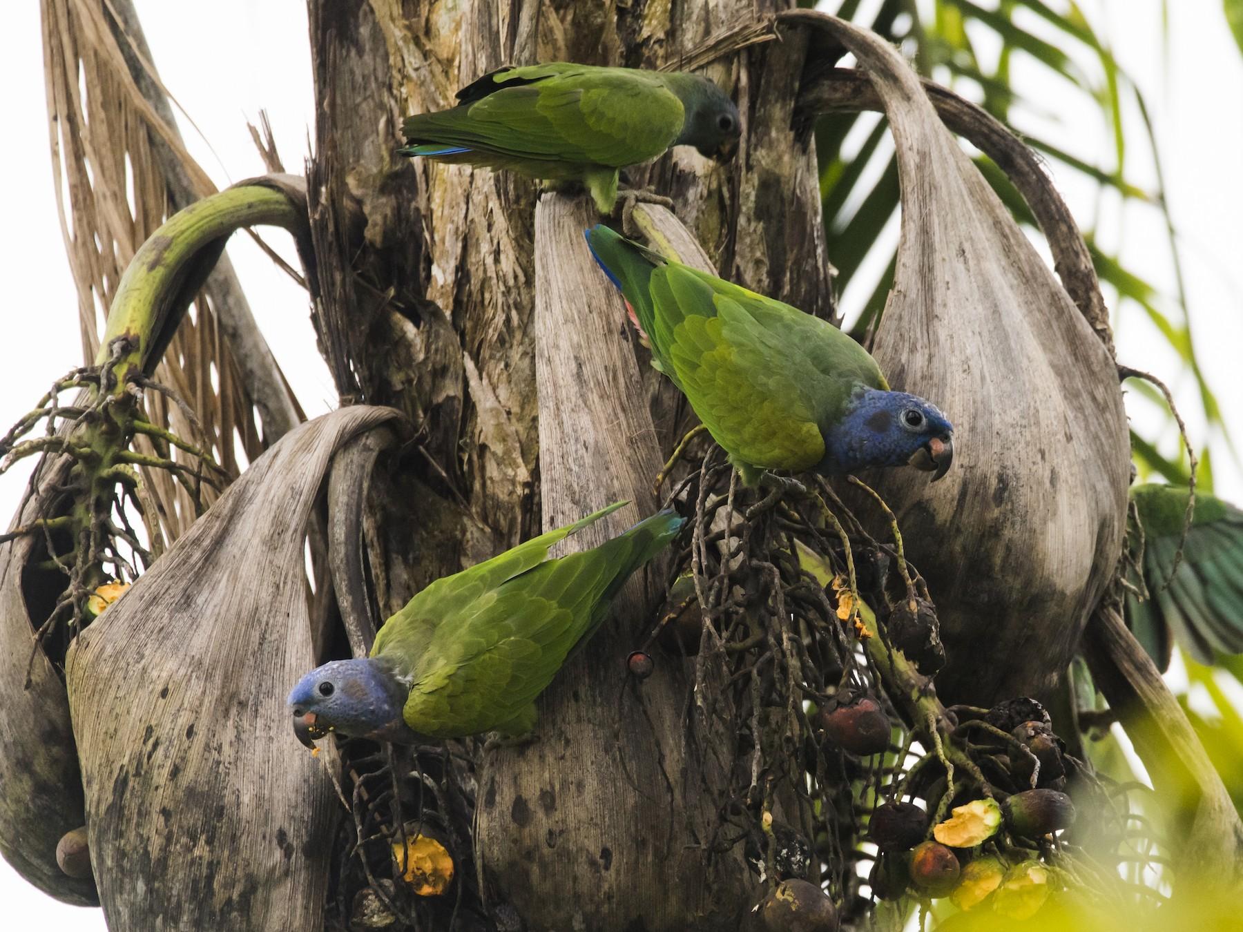 Blue-headed Parrot - Claudia Brasileiro