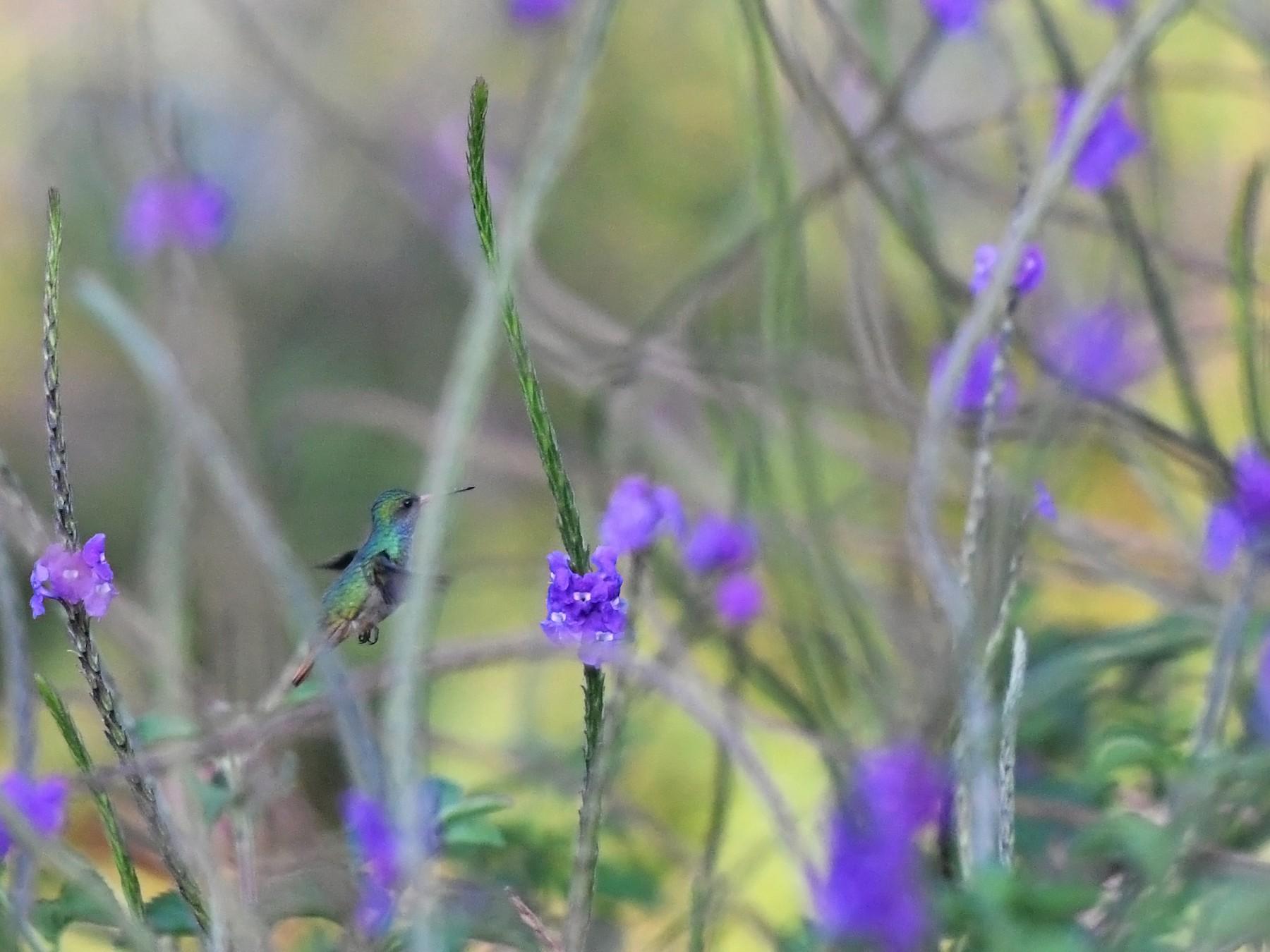 Blue-throated Goldentail - Joshua Vandermeulen