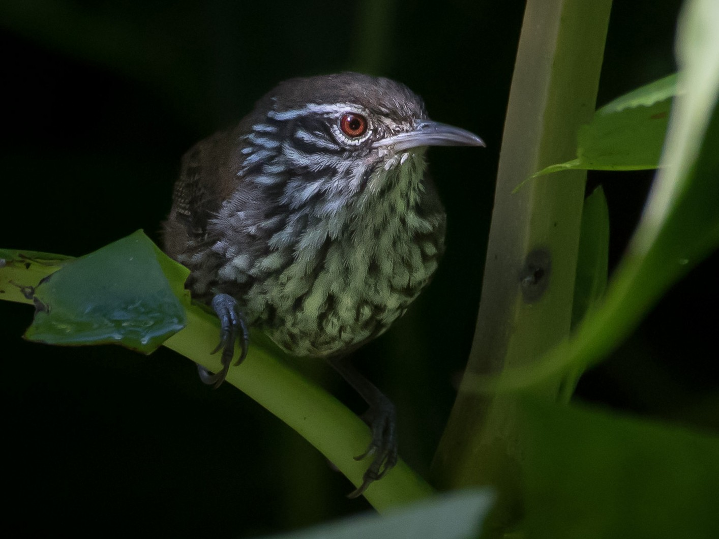 Stripe-breasted Wren - Melissa James