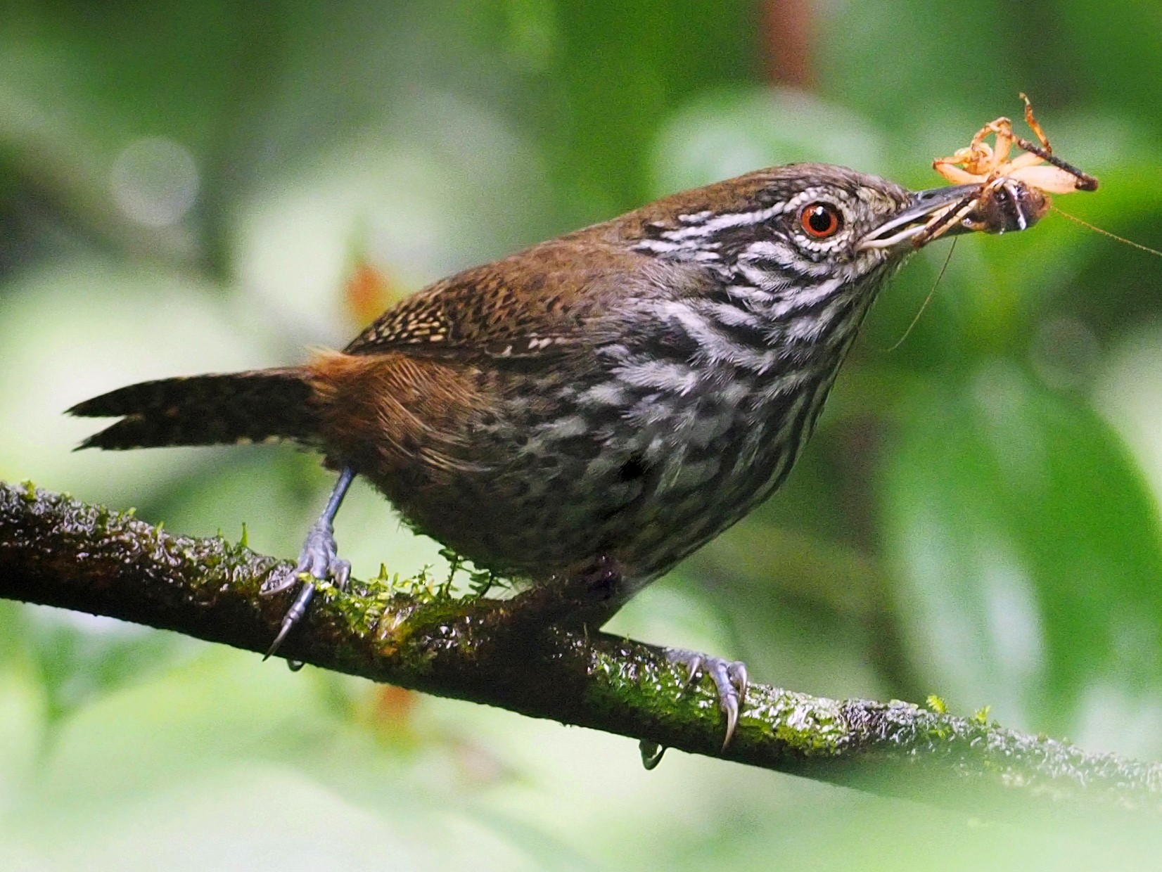Stripe-breasted Wren - Tony Gentilcore